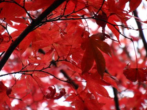 2010紅葉(鞍馬)21.jpg