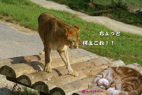 白浜AWS(♀ライオンとミュウ).jpg